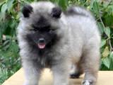 Собаки, щенята Вольфшпіц, ціна 6000 Грн., Фото