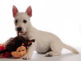 Собаки, щенята Вестхайленд уайт тер'єр, ціна 14000 Грн., Фото