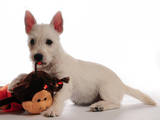 Собаки, щенки Вестхайленд уайт терьер, цена 14000 Грн., Фото