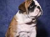 Собаки, щенки Английский бульдог, цена 20000 Грн., Фото