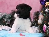 Собаки, щенята Американський акіта, ціна 9000 Грн., Фото