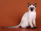 Кошки, котята Тайская, цена 5000 Грн., Фото