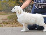 Собаки, щенки Золотистый ретривер, цена 450 Грн., Фото