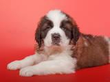 Собаки, щенки Сенбернар, цена 6000 Грн., Фото