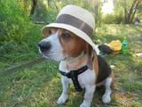 Собаки, щенки Бигль, цена 250 Грн., Фото