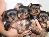 Собаки, щенята Йоркширський тер'єр, ціна 2000 Грн., Фото