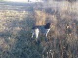 Собаки, щенята Німецька жорсткошерста лягава, ціна 1300 Грн., Фото