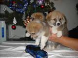 Собаки, щенята Вельш коргі пемброк, ціна 18000 Грн., Фото