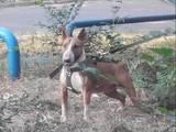 Собаки, щенки Бультерьер, цена 9000 Грн., Фото