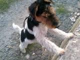 Собаки, щенки Жесткошерстный фокстерьер, цена 300 Грн., Фото