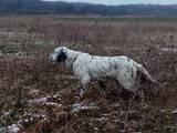 Собаки, щенята Англійський сетер, ціна 31000 Грн., Фото