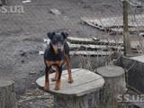 Собаки, щенята Спаровування, ціна 400 Грн., Фото