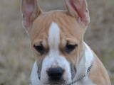 Собаки, щенки Американский стаффордширский терьер, цена 3000 Грн., Фото