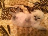 Кошки, котята Разное, цена 1500 Грн., Фото
