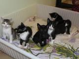 Кішки, кошенята Орієнтальна, Фото