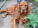 Собаки, щенята Англійський коккер, ціна 2000 Грн., Фото