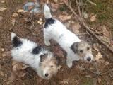 Собаки, щенята Жорсткошерстий фокстер'єр, ціна 1 Грн., Фото