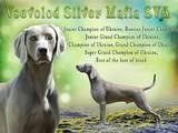 Собаки, щенки Веймарская легавая, цена 11500 Грн., Фото