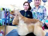 Собаки, щенки Американский коккер, цена 130 Грн., Фото