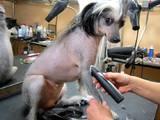 Собаки, щенята Американський коккер, ціна 130 Грн., Фото