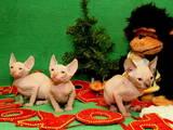 Кішки, кошенята Канадський сфінкс, ціна 2700 Грн., Фото