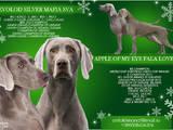 Собаки, щенки Веймарская легавая, цена 27000 Грн., Фото