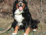 Собаки, щенята Великий Швейцарський зенненхунд, ціна 3000 Грн., Фото