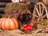 Собаки, щенята Японський мастиф (Тоса-іну), ціна 25000 Грн., Фото