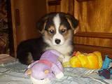 Собаки, щенята Вельш коргі пемброк, ціна 25000 Грн., Фото