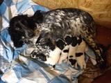 Собаки, щенята Російський спаніель, ціна 4500 Грн., Фото