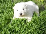 Собаки, щенки Белая Швейцарская овчарка, цена 2500 Грн., Фото