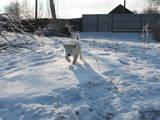 Собаки, щенята Акіта-іну, ціна 5500 Грн., Фото