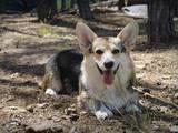 Собаки, щенята Вельш коргі пемброк, Фото