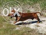 Собаки, щенки Гладкошерстная такса, цена 1500 Грн., Фото