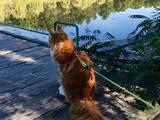 Кішки, кошенята Мейн-кун, ціна 2500 Грн., Фото