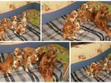 Собаки, щенята Англійський коккер, ціна 1000 Грн., Фото