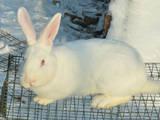 Грызуны Кролики, цена 80 Грн., Фото
