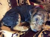 Собаки, щенки Вельштерьер, цена 5500 Грн., Фото