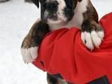 Собаки, щенки Боксер, цена 12000 Грн., Фото
