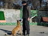 Собаки, щенки Бельгийская овчарка (Малинуа), цена 12000 Грн., Фото