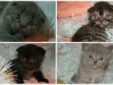 Кішки, кошенята Highland Fold, ціна 900 Грн., Фото