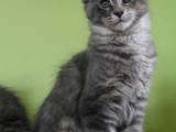 Кішки, кошенята Мейн-кун, ціна 11000 Грн., Фото