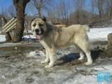 Собаки, щенки Разное, цена 20 Грн., Фото