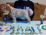 Собаки, щенята Американський коккер, ціна 3500 Грн., Фото