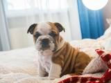 Собаки, щенята Англійський бульдог, ціна 25000 Грн., Фото