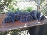 Грызуны Кролики, цена 300 Грн., Фото