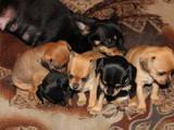 Собаки, щенки Русский гладкошерстный тойтерьер, цена 800 Грн., Фото