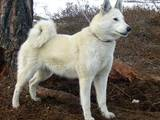 Собаки, щенки Восточно-Сибирская лайка, цена 2100 Грн., Фото