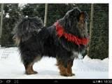 Собаки, щенята Тибетський мастиф, ціна 11 Грн., Фото