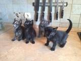 Кішки, кошенята Безпорідна, ціна 120 Грн., Фото